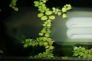 Veel drijfplanten groeien zo snel dat je nooit meer nieuwe hoeft te kopen.